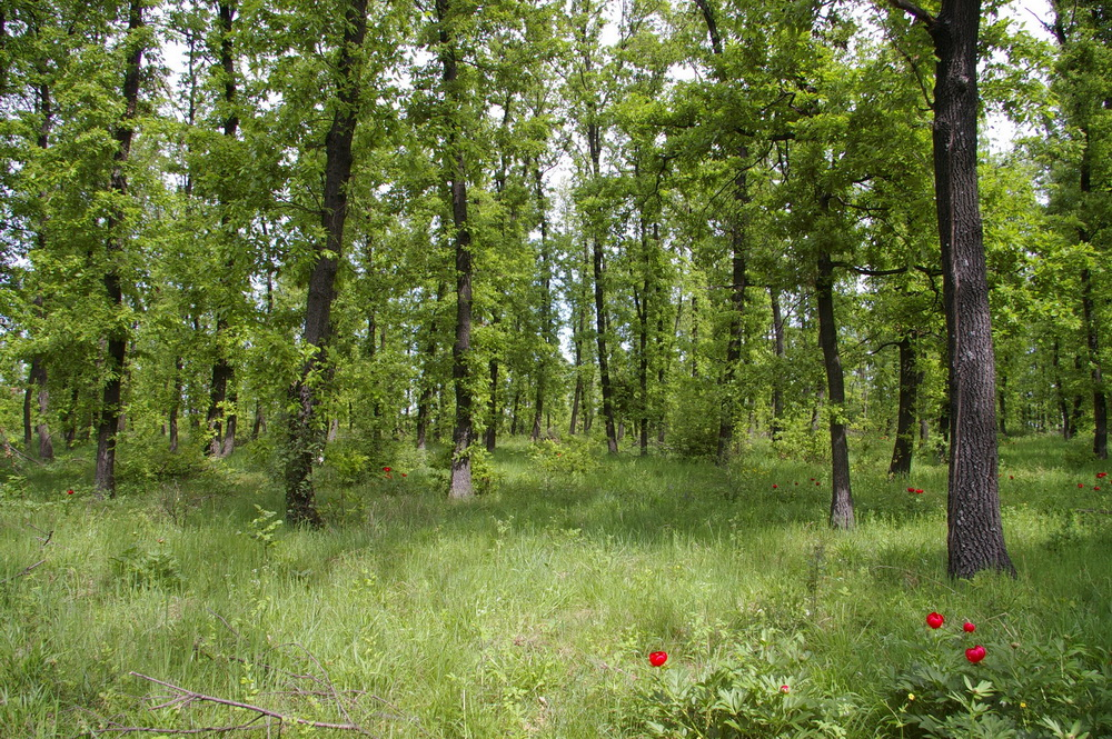 Oak Forest Plot In Bulgaria For Log Cabin Or Wood